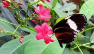 Macro Monday: the zebra longwing and the tiger longwingbutterflies