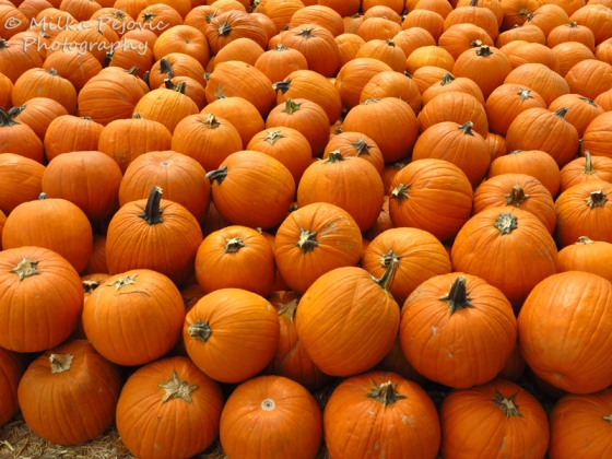 Pumpkin display - orange pumpkins