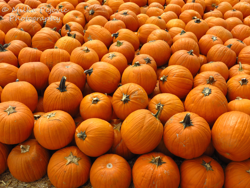 Pumpkin display - orange pumpkins