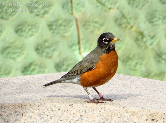 American robin with orange chest