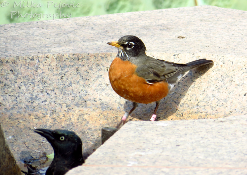 American robin and grackle taking a bird bath
