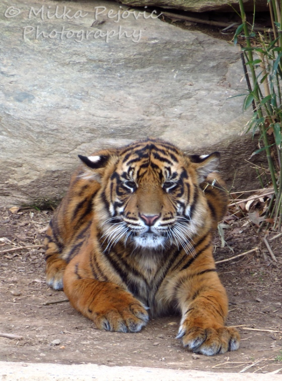Tiger with orange fur and black stripes