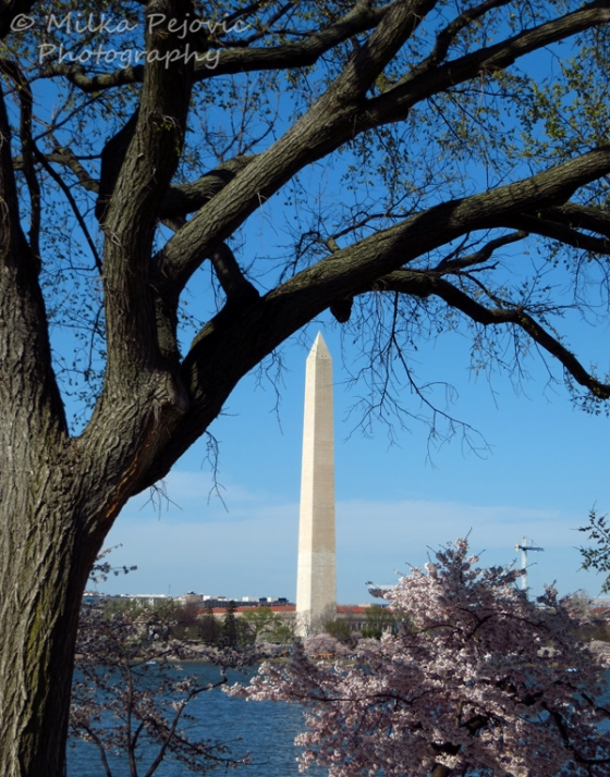 The Washington Monument and cherry blossoms in Washington DC