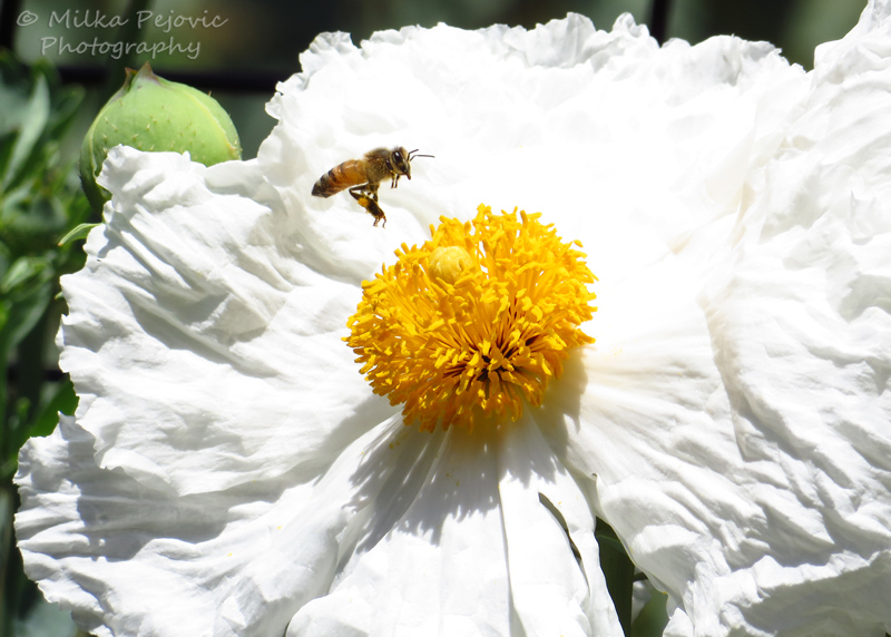 Macro Monday: bee on a Matilija poppy