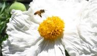 Macro Monday: bee on a Matilijapoppy