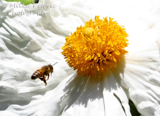 Bee flying in front of a white poppy (Matilija poppy)
