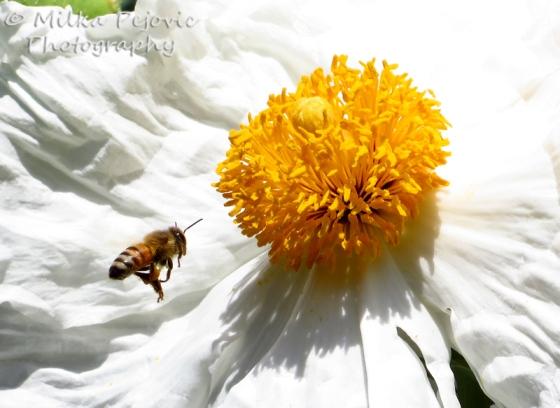Bee flying in front of a white poppy (Matilija poppy)