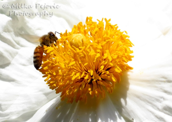 Close-up of a bee collecting nectar on a giant white poppy with yellow center