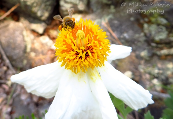 Bee on a Matilija poppy (Romneya coulteri)