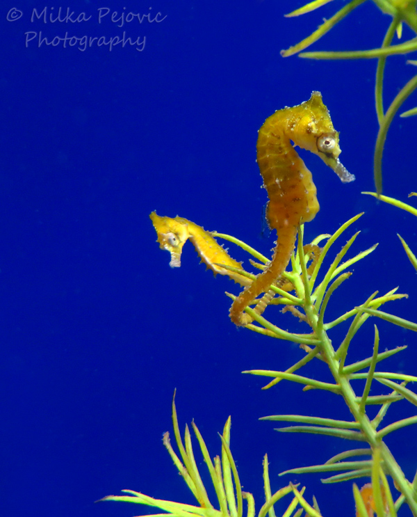 Yellow seahorses in blue background aquarium