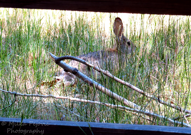 Cottontail rabbit hiding behind a wooden fence