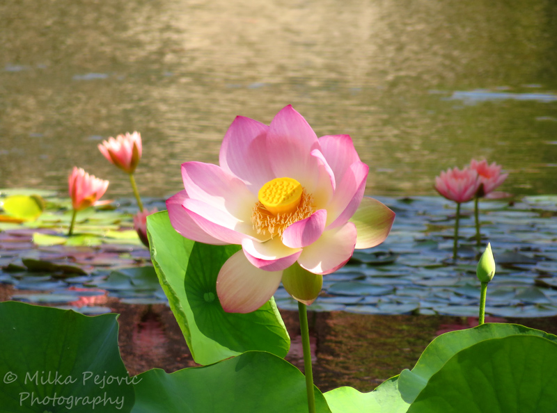 Pink lotus flower at San Diego's Balboa Park