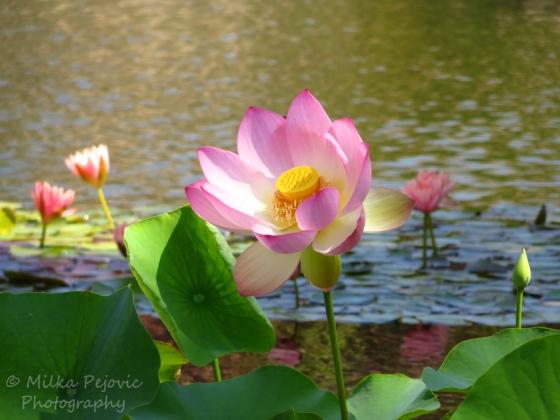Floral Friday Fotos: pink lotus flower