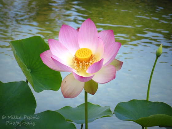 Close-up of a pink lotus flower