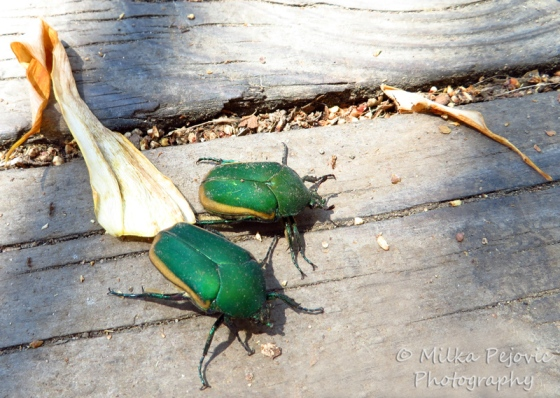 Close-up of two green June bugs (figeater beetle)