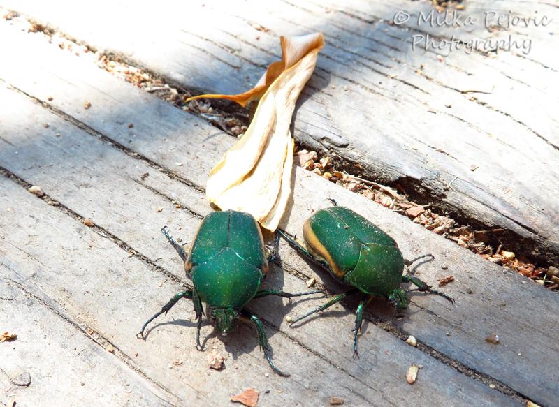 Macro Monday: two June bugs