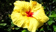Floral Friday Fotos: Hibiscus blooms
