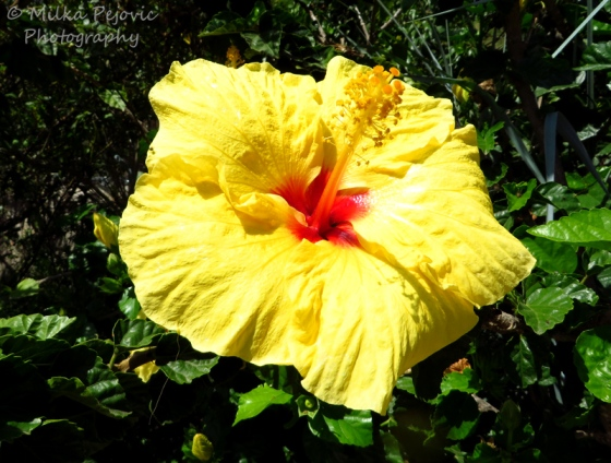 Red and yellow hibiscus flower
