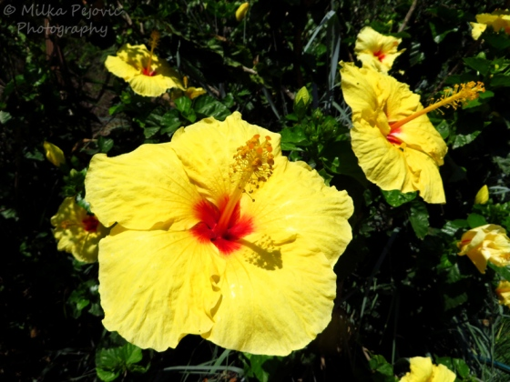 Yellow hibiscus with red center