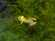 How to photograph afrog