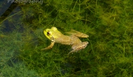 How to photograph a frog