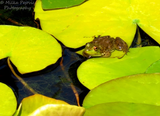 Small frog laying down on a lily pad