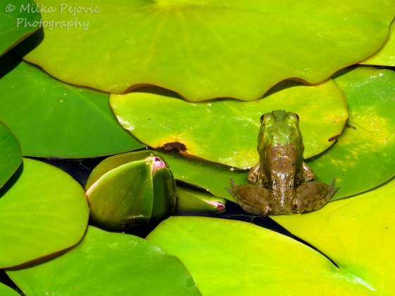 Camera shy frog