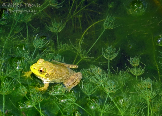 Frog swimming in the water and weeds