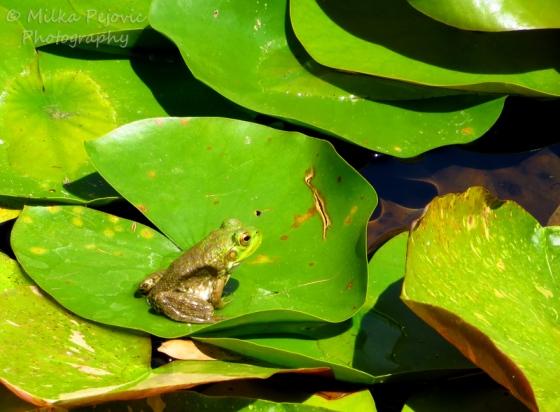 Small American bullfrog (Rana catesbeiana) on a lily pad