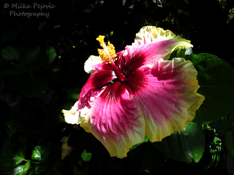 Purple and yellow hibiscus bloom