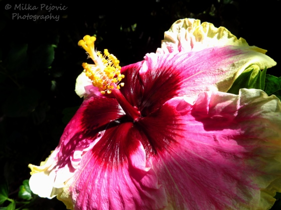Purple and yellow hibiscus flower