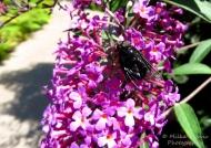 Macro Monday: the bee fly(bombyliidae)