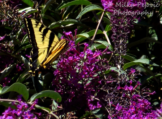 Tiger swallowtail butterfly on pink flowers