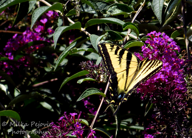 Yellow tiger swallowtail butterfly collecting nectar