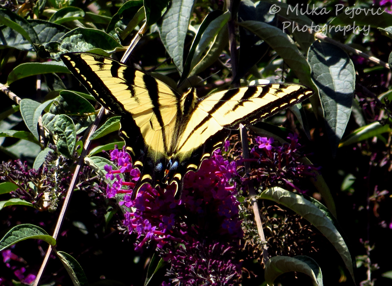 Close-up of a tiger swallowtail butterfly on pink flowers