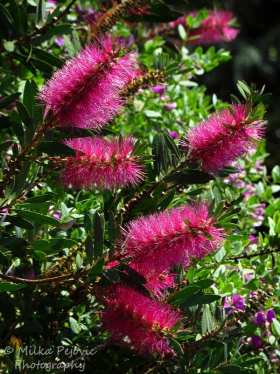 Floral Friday Fotos: pink bottle brush flowers