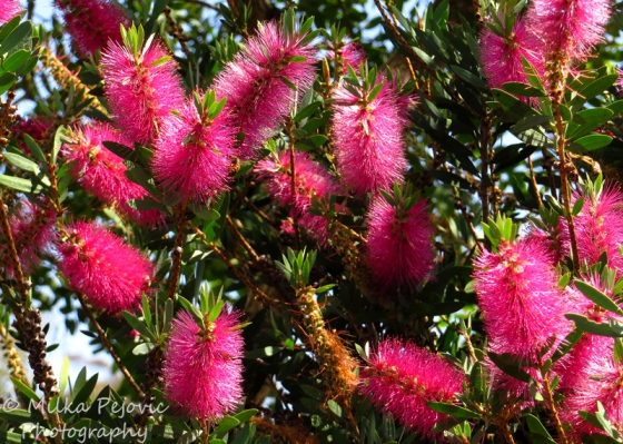 Pink bottle brush blooms
