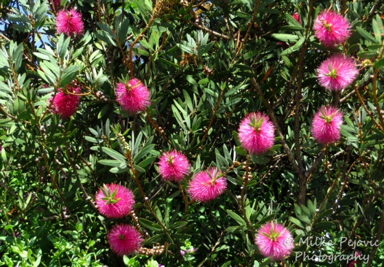 Pink bottle brush flowers in bottle brush tree