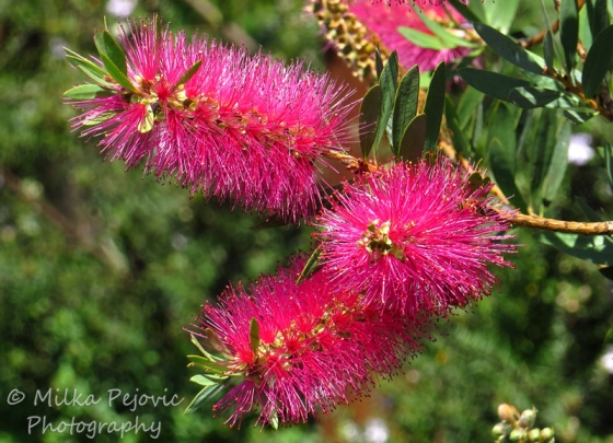 Bright pink bottlebrush flowers