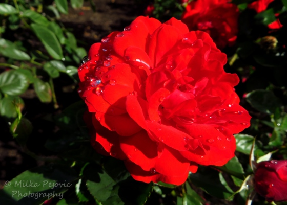 Raindrops on red rose petals