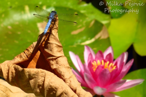 Close-up of a blue dragonfly and pink water lily