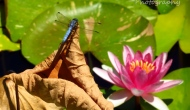 Blue dragonfly and water lilies
