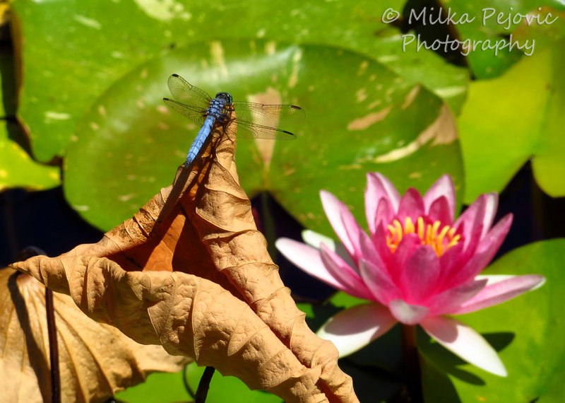 Blue dragonfly and pink water lily